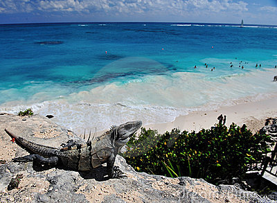 iguana on tulum beach
