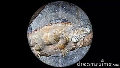 Iguana vista en alcance del rifle del arma Caza de la fauna Animales en peligro, vulnerables, y amenazantes el escalfar metrajes
