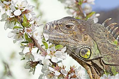 Iguana at walk