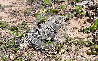 Iguana in the wild nature. Mexico