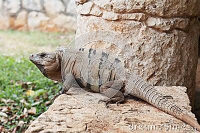 Iguana at Xcaret, Mexico