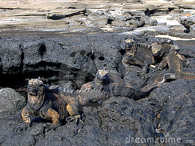 Iguanas in Galapagos Islands