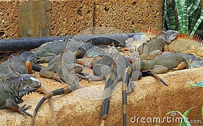 Iguanas laying