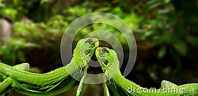 Iguanas in love