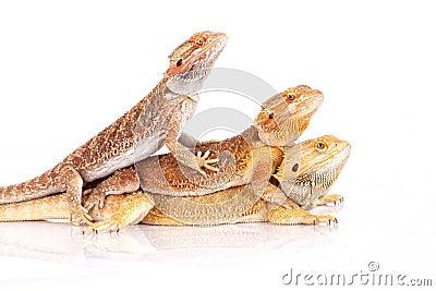 Iguanias