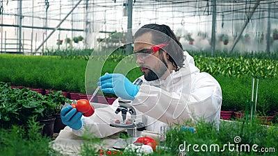 Il botanico usa una siringa mentre lavora con pomodori in serra archivi video
