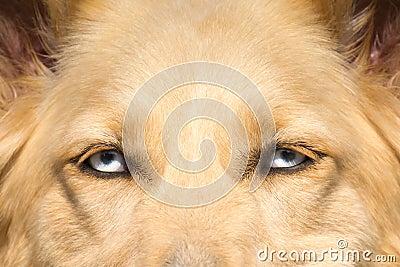 Il cane da pastore bianco con gli occhi azzurri si chiude - Cane occhi azzurri ...