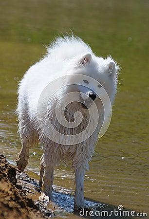 Il cane del samoyed