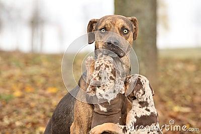 Cane della Luisiana Catahoula spaventato del parenting