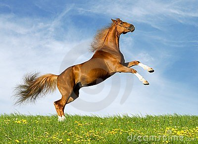 Il cavallo della castagna galoppa nel campo