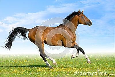 Il cavallo di baia galoppa nel campo