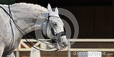 Il cavallo grigio ha messo fuori la linguetta fuori messa cavallo grigio