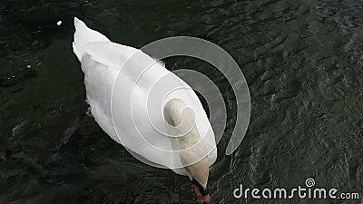 Il cigno nuota nel lago archivi video