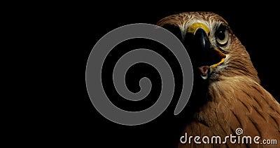 Il falco con becco aperto e la lingua fuori è seduto e guarda intorno, 4k archivi video