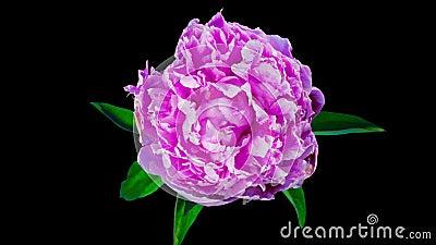 Il fiore della peonia è sbocciare, al rallentatore con l'alfa