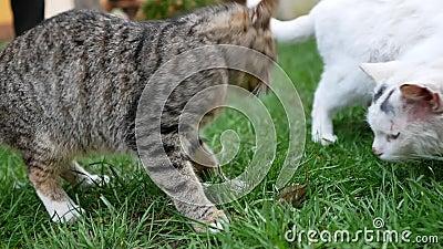 Il gatto mangia pesce fresco archivi video