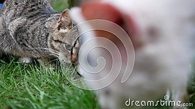 Il gatto mangia pesce fresco video d archivio