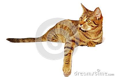 Il gatto rosso è isolato
