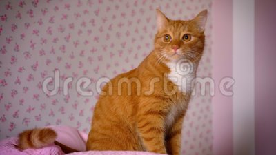 Il gatto rosso allegro sveglio sta sedendosi sul letto rosa a casa e sta osservando rilassato stanza, animale domestico sveglio s video d archivio