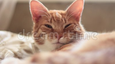 Il gatto rosso sta aggrottando le sopracciglia e lampeggiando stock footage