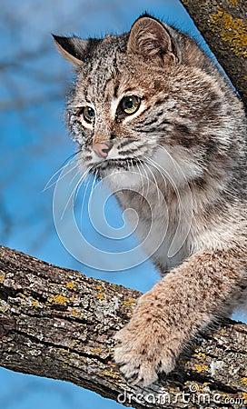 Il gatto selvatico (rufus del lince) graffia al ramo