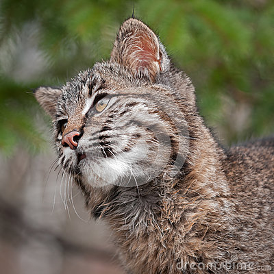 Il gatto selvatico (rufus di Lynx) sembra il primo piano sinistro