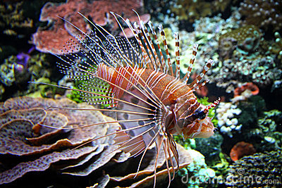 Il lionfish rosso