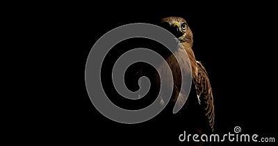 Il magnifico falco con il becco aperto sta guardando in giro in una stanza buia, con degli animali selvatici, in 4k stock footage