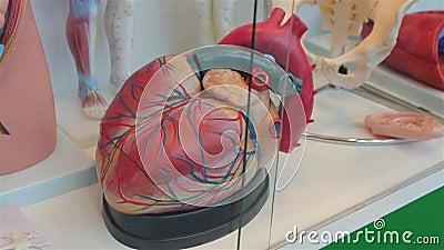 Il modello umano del cuore stock footage