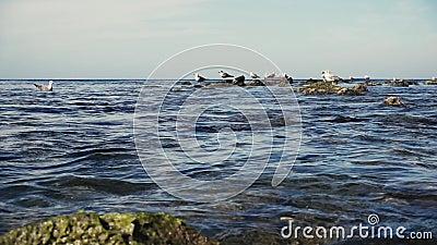 Il movimento lento gulls sull'acqua e sulle rocce nel mare video d archivio