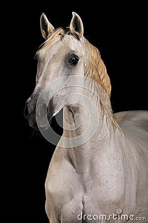 Il nero isolato ritratto del cavallo bianco
