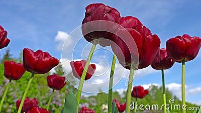Il Paeonia rosa bello di fioritura della peonia fiorisce nel giardino stock footage