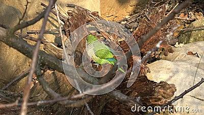 Il pappagallo verde Myiopsitta monachus seduto su un ramo di un albero video d archivio