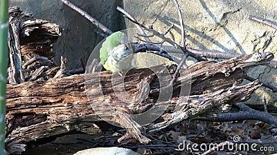 Il pappagallo verde Myiopsitta monachus seduto su un ramo di un albero archivi video