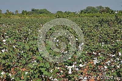 Il raccolto del cotone