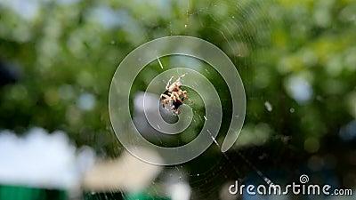 Il ragno di giardino che cerca la sua preda in aria aperta, ragno sul web che mangia la sua preda nel sole, aracnide prende gli i stock footage