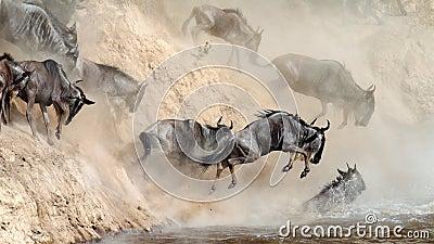 Il Wildebeest salta nel fiume da un alta scogliera