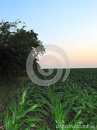 Illinois Corn – 9