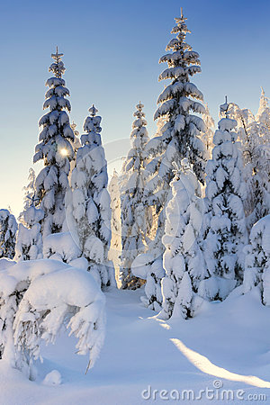 Free Illuminated By The Sun Snow-covered Spruce Trees And Larches Stock Images - 79267954