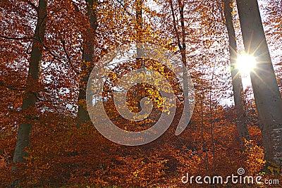 Illuminated golden autumn forest