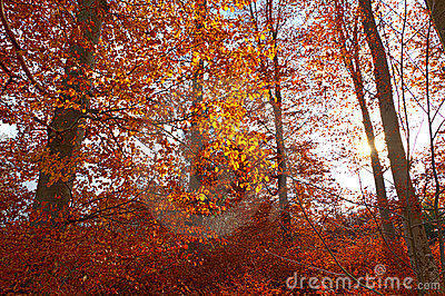 Illuminated golden autumn forest