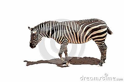 Illustration of an African Zebra
