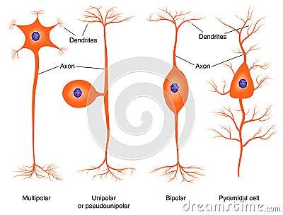 Illustration of basic neuron types