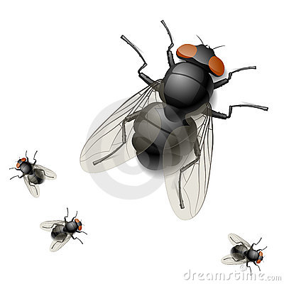 Illustration of a housefly