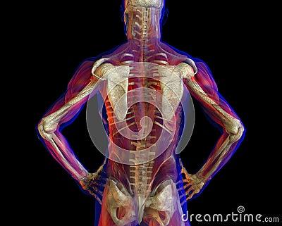 the human skeleton - the back stock illustration - image: 58830701, Skeleton