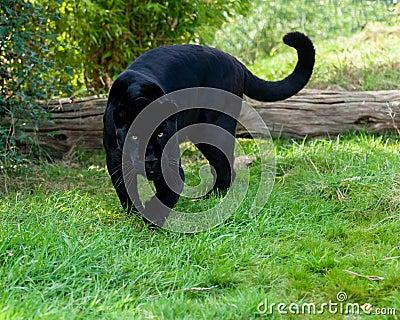 Ilsken svart jaguar som framåtriktat förföljer
