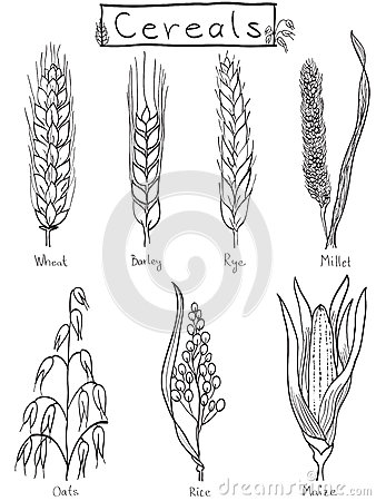 Ilustração hand-drawn dos cereais