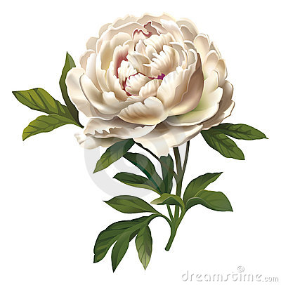 Ilustración de la flor del Peony