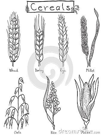 Ilustración a mano de los cereales