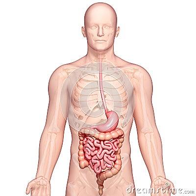 Ilustracja anatomia ludzki żołądek z ciałem
